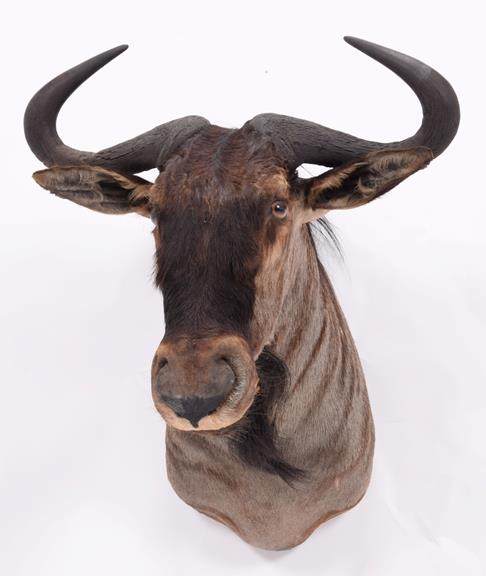 Taxidermy: Blue Wildebeest (Connochaetes taurinus), dated 2003, Mananga, South Africa, a high - Image 3 of 3