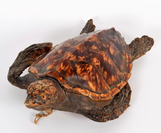 Taxidermy: Hawksbill Sea Turtle (Eretmochelys imbricata), circa 1920, juvenile full mount with