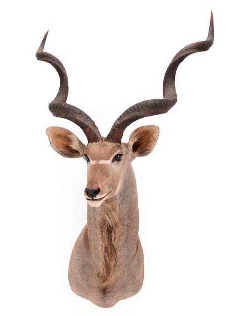 Taxidermy: Cape Greater Kudu (Strepsiceros strepsiceros), dated 2002, Osonjiva, Namibia, South