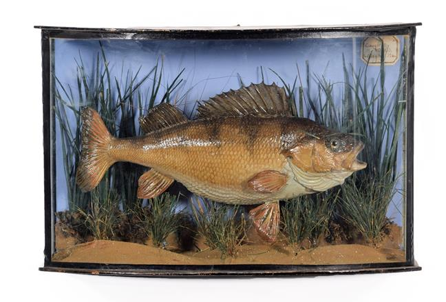 Taxidermy: A Cased Perch (Perca fluviatilis), dated 1905, a skin mount preserved and mounted in a