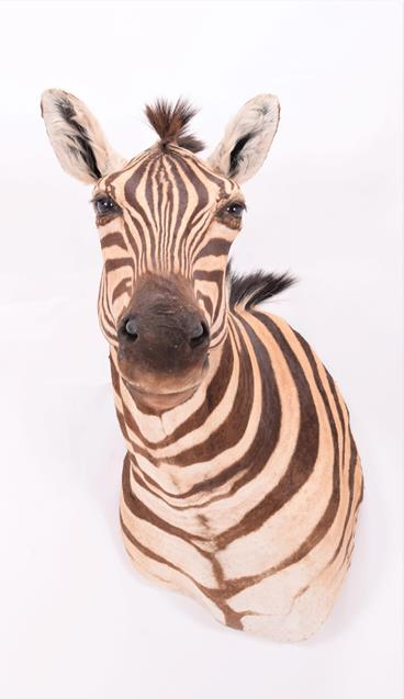 Taxidermy: Burchell's Zebra (Equus quagga), modern, South Africa, a superb quality example of an - Image 4 of 4