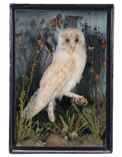 Taxidermy: A Late Victorian Cased Barn Owl (Tito alba), circa 1870-1900, in the manner of T.E. Gunn,