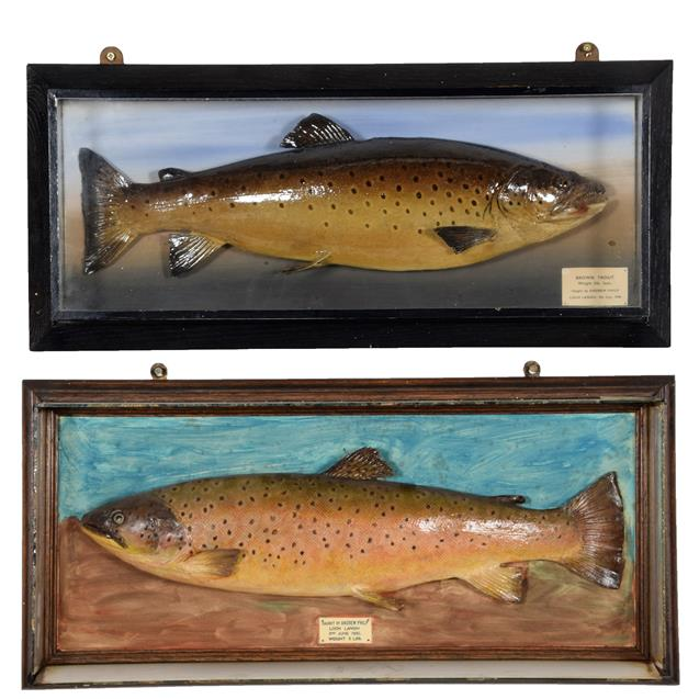 Taxidermy: A Cased Brown Trout (Salmo trutta), dated 09th July 1948, in the manner of P.D.
