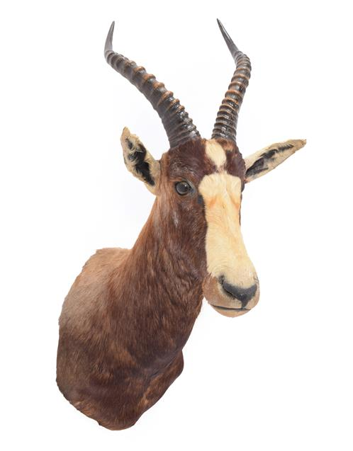 Taxidermy: Blesbok (Damaliscus pygargus phillipsi), dated 03rd March 1991, by Nico van Rooyen
