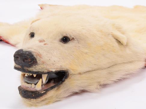 Taxidermy: Polar Bear Skin (Ursus maritimus), circa 1970, Canada, a young adult skin rug with head - Image 6 of 7