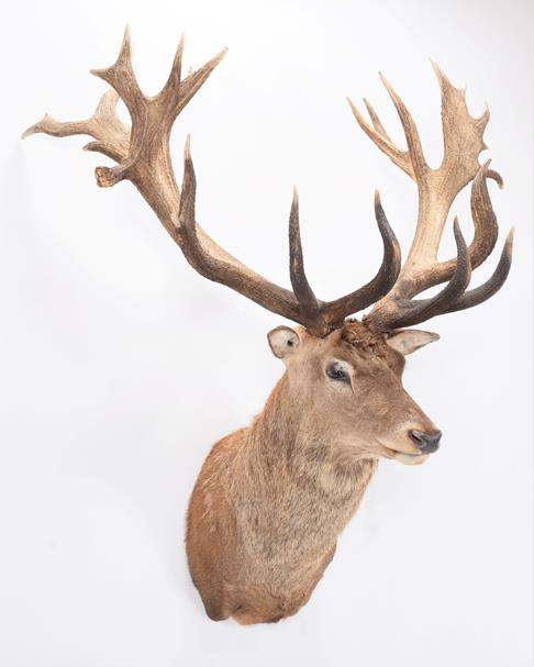 Taxidermy: A New Zealand Red Deer (Cervus elaphus), circa 2016, by Tyron Southward, Taxidermy, - Image 2 of 3