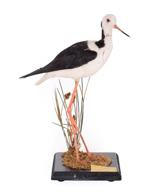 Taxidermy: A Late Victorian Black-Winged Stilt (Himantopus himantopus), circa 1870-1900, a full