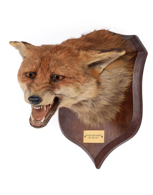 Taxidermy: Red Fox Mask (Vulpes vulpes), dated 10th October,1931, by Peter Spicer & Sons,