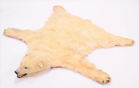 Taxidermy: Polar Bear Skin (Ursus maritimus), circa 1970, Canada, a young adult skin rug with head - Image 2 of 7