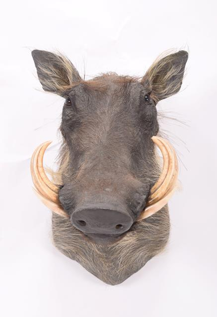 Taxidermy: Common Warthog (Phacochoerus africanus), modern, South Africa, high quality adult - Image 3 of 3