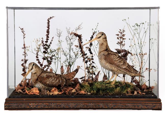 Taxidermy: A Pair of Cased European Woodcock (Scolopax rusticola), modern, by Ann & John Burton,