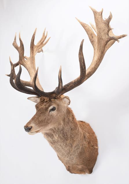 Taxidermy: A New Zealand Red Deer (Cervus elaphus), circa 2016, by Tyron Southward, Taxidermy, - Image 3 of 3