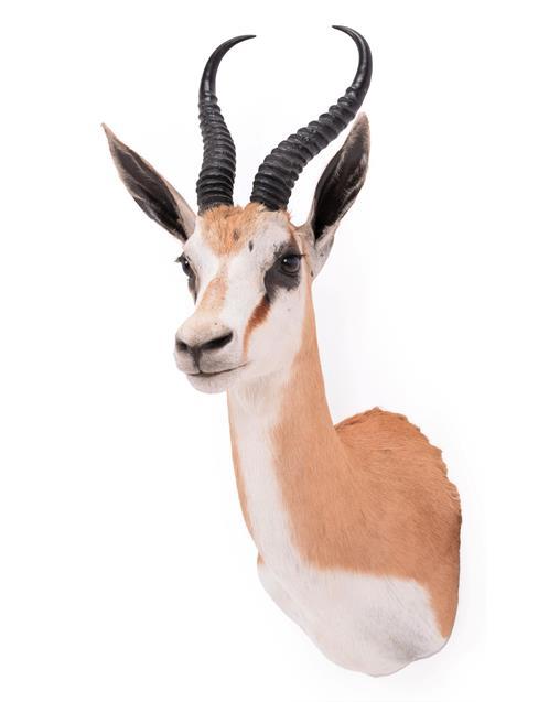 Taxidermy: South African Springbok (Antidorcas marsupialis), modern, high quality shoulder mount