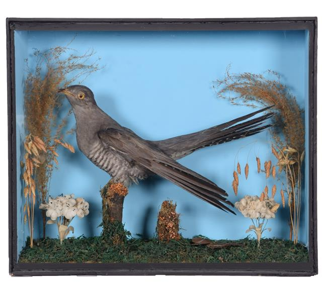 Taxidermy: A Cased Common Cuckoo (Cuculus canorus), circa mid-20th century, a full mount adult male,