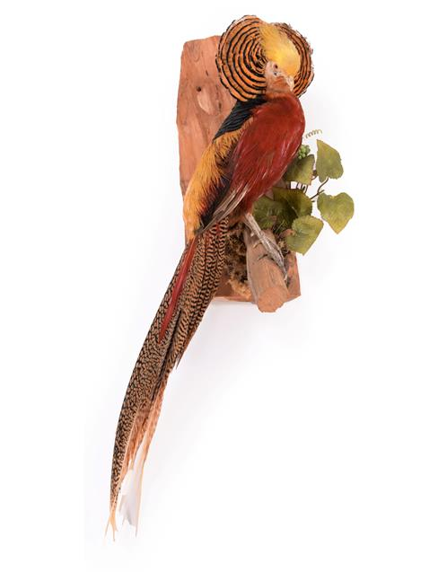Taxidermy: A Golden Pheasant (Chrysolophus pictus), modern, a full mount adult cock bird with