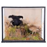 Taxidermy: A Large Cased Diorama of Black Grouse (Lyrurus tetrix), circa early 20th century, by J.