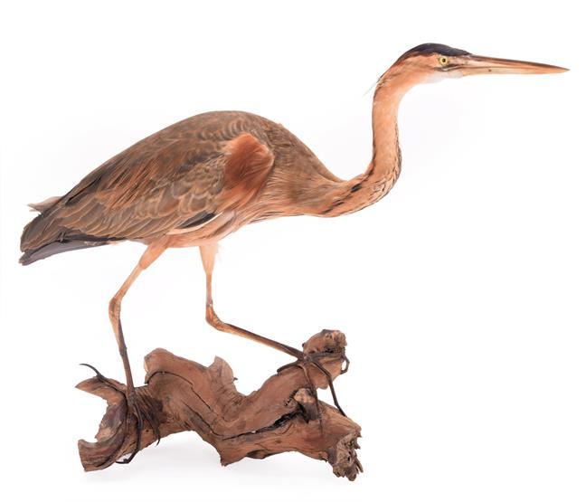Taxidermy: A Purple Heron (Ardea purpurea), circa late 20th century, a full mount adult perched upon