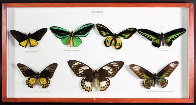 Entomology: A Collection of Birdwing & Swallowtail Tropical Butterflies, circa mid-late 20th
