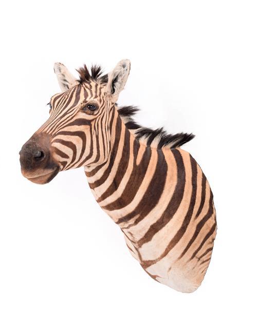 Taxidermy: Burchell's Zebra (Equus quagga), modern, South Africa, a superb quality example of an