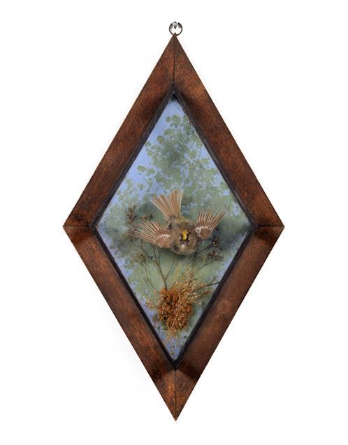 Taxidermy: An Edwardian Wall Cased Goldcrest (Regulus regulus), 1895-1958, by George Bazeley, 13