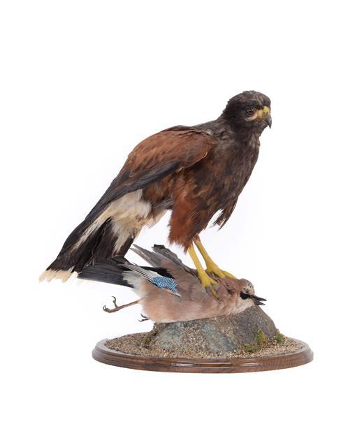 Taxidermy: Harris's Hawk (Parabuteo unicinctus), circa early 21st century, captive bred, by A.J.