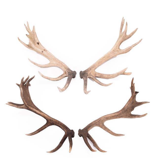 Antlers/Horns: Two Pairs of Cast European Red Deer Antlers (Cervus elaphus hippelaphus), circa
