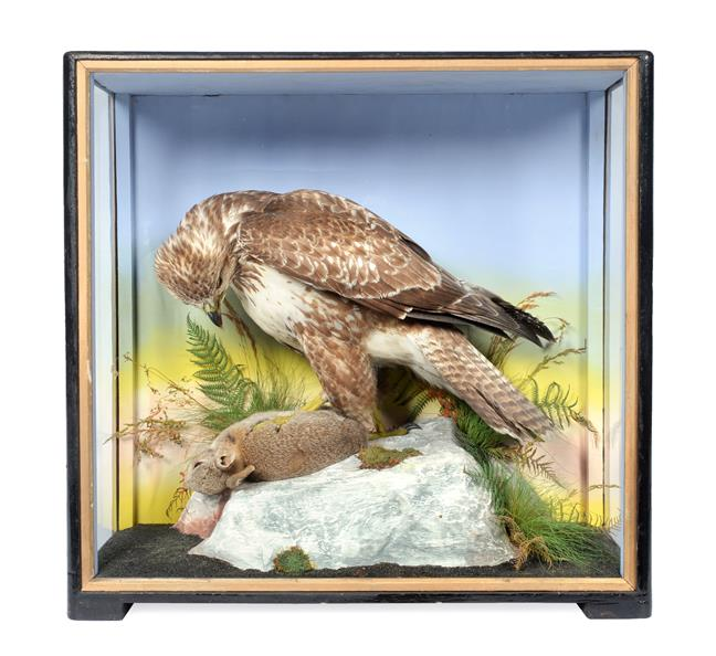 Taxidermy: A Victorian Cased Common Buzzard (Buteo buteo), by James Hutchings, Aberystwyth, 1860-