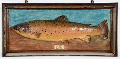 Taxidermy: A Cased Brown Trout (Salmo trutta), dated 09th July 1948, in the manner of P.D. - Image 3 of 3