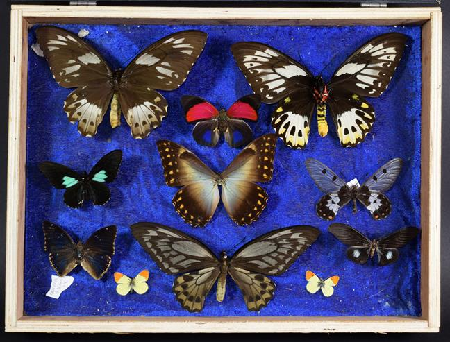 Entomology: A Collection of Birdwing & Swallowtail Tropical Butterflies, circa mid-late 20th - Image 3 of 4