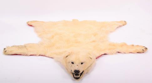 Taxidermy: Polar Bear Skin (Ursus maritimus), circa 1970, Canada, a young adult skin rug with head - Image 4 of 7