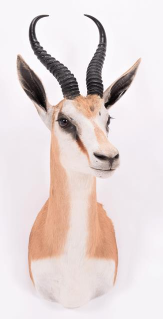 Taxidermy: South African Springbok (Antidorcas marsupialis), modern, high quality shoulder mount - Image 3 of 3