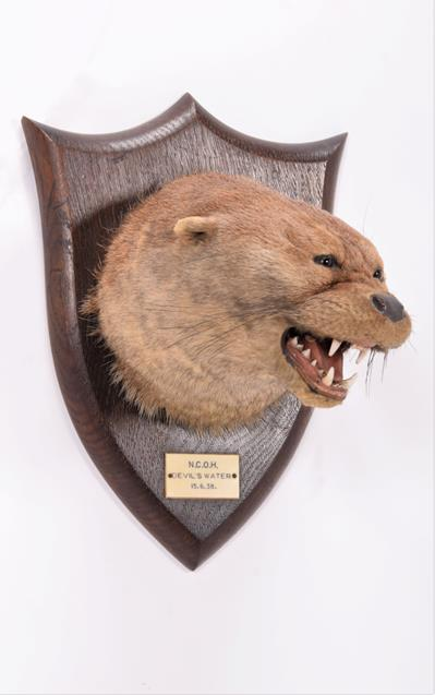 Taxidermy: A Eurasian Otter Mask (Lutra lutra), dated 15th 06th 1938, by Peter Spicer & Sons, - Image 2 of 5