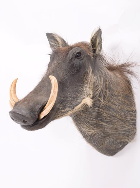 Taxidermy: Common Warthog (Phacochoerus africanus), modern, South Africa, high quality adult - Image 2 of 3