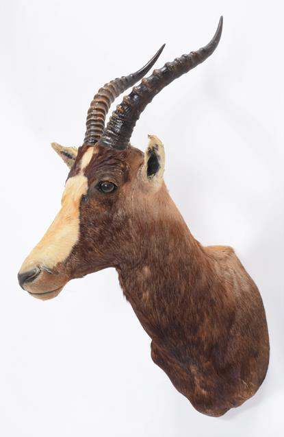 Taxidermy: Blesbok (Damaliscus pygargus phillipsi), dated 03rd March 1991, by Nico van Rooyen - Image 2 of 3