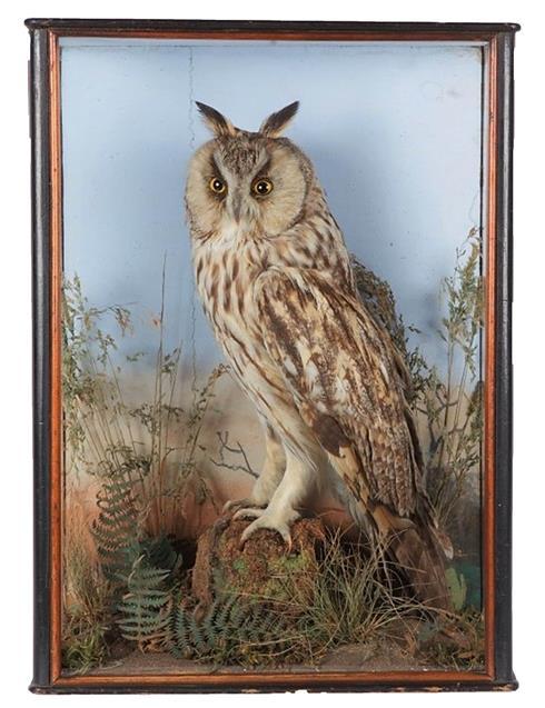 Taxidermy: A Cased Long-Eared Owl (Asio otus), by William Hope, Taxidermist, 44 george Street,