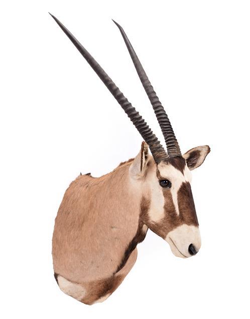 Taxidermy: Gemsbok Oryx (Gazella gazella), dated 2002, Osonjiva, Namibia, high quality adult male