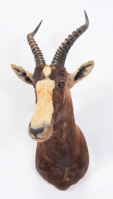 Taxidermy: Blesbok (Damaliscus pygargus phillipsi), dated 03rd March 1991, by Nico van Rooyen - Image 3 of 3