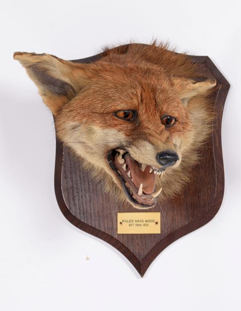 Taxidermy: Red Fox Mask (Vulpes vulpes), dated 10th October,1931, by Peter Spicer & Sons, - Image 2 of 5