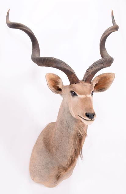 Taxidermy: Cape Greater Kudu (Strepsiceros strepsiceros), dated 2002, Osonjiva, Namibia, South - Image 2 of 3