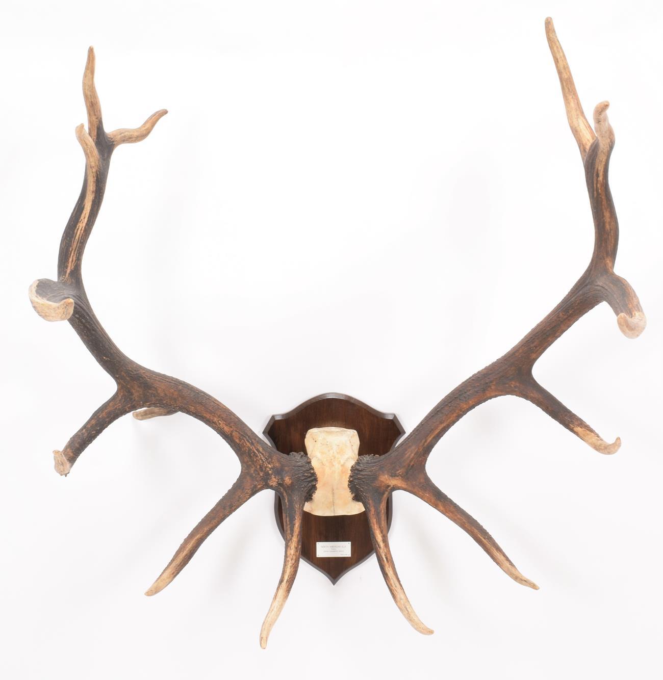Antlers/Horns: North American Wapiti or Elk (Cervus canadensis nelsoni), North America, a very large