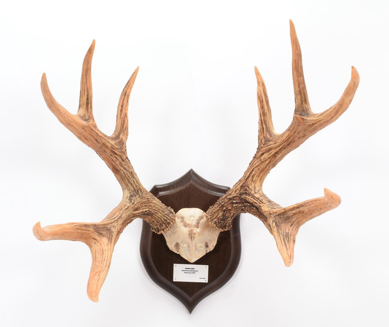 Antlers/Horns: Marsh Deer (Blastocerus dichotomus), dated 1970, Brazil, adult stag antlers on cut