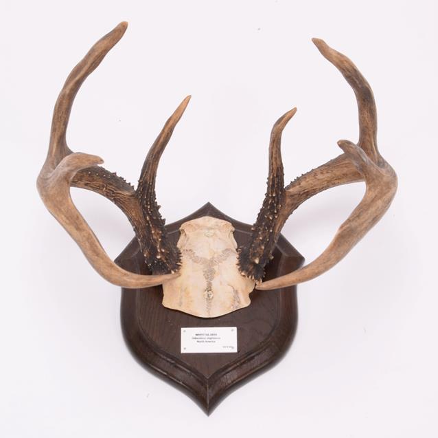 Antlers/Horns: White-Tailed Deer, (Odocoileus virginianus), North America, adult antlers on cut - Image 4 of 6