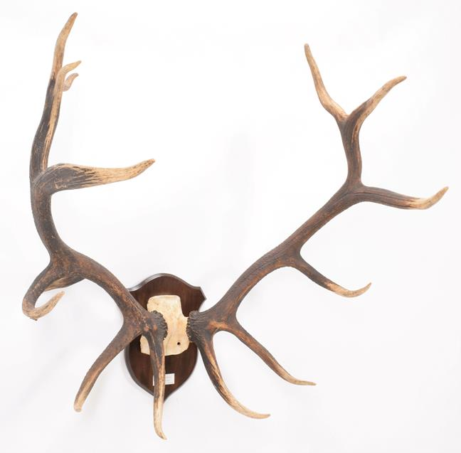 Antlers/Horns: North American Wapiti or Elk (Cervus canadensis nelsoni), North America, a very large - Image 2 of 4