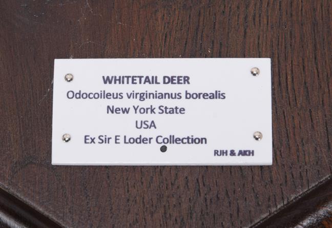 Antlers/Horns: White-Tailed Deer, (Odocoileus virginianus), North America, adult antlers on cut - Image 6 of 6
