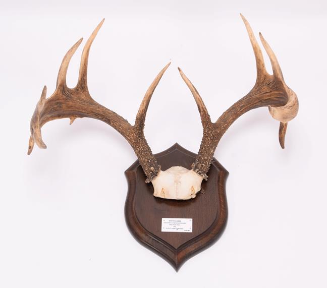 Antlers/Horns: White-Tailed Deer, (Odocoileus virginianus), North America, adult antlers on cut - Image 2 of 6
