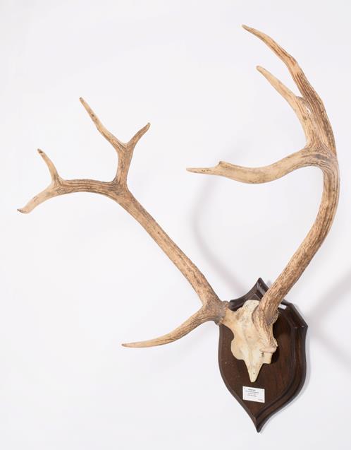 Antlers/Horns: Swamp Deer or Barasingha (Rucervus duvaucelii duvaucelii), South West Nepal, Northern - Image 3 of 4