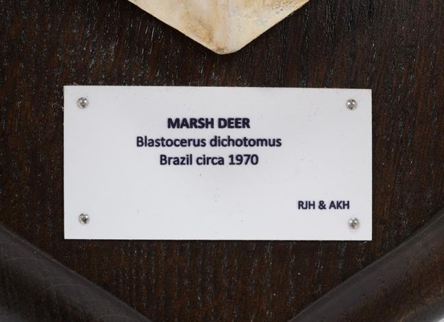 Antlers/Horns: Marsh Deer (Blastocerus dichotomus), dated 1970, Brazil, adult stag antlers on cut - Image 2 of 2