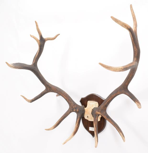 Antlers/Horns: North American Wapiti or Elk (Cervus canadensis nelsoni), North America, a very large - Image 3 of 4