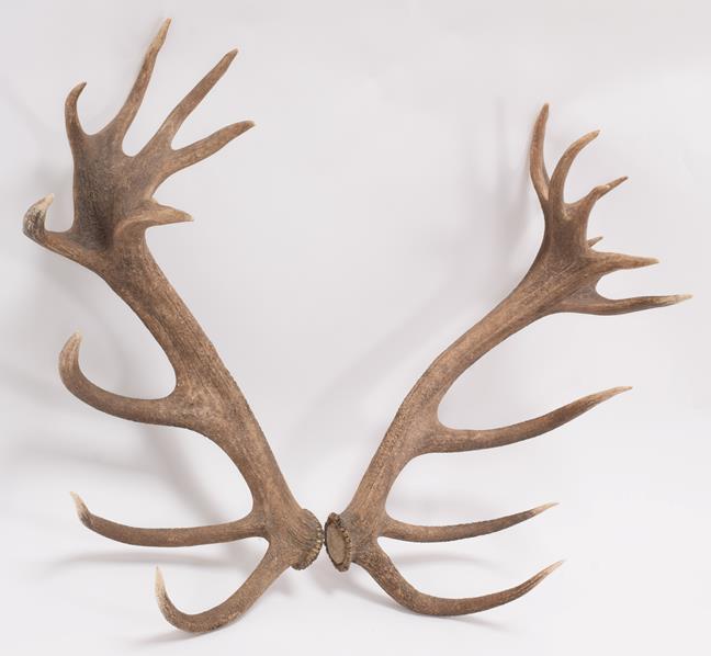 Antlers/Horns: Central European Red Deer Cast Antlers (Cervus elaphus hippelaphus), Warnham Deer - Image 2 of 3