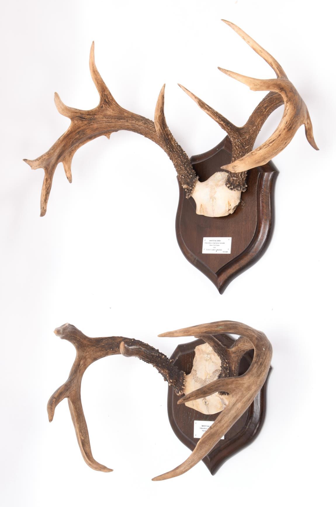 Antlers/Horns: White-Tailed Deer, (Odocoileus virginianus), North America, adult antlers on cut